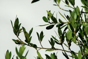 Laurier Rotundifolia